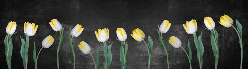 Papiers peints Tulip Spring background panorama banner - yellow white tulips isolated on black concrete stone wall texture