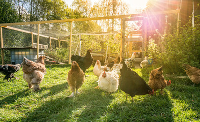 Happy chicken outside their pen.