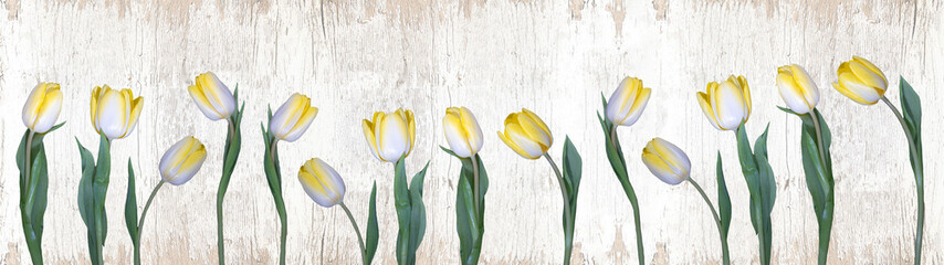 Fotobehang Tulp Spring background panorama banner - yellow white tulips isolated on rustic white vintage shabby wooden wall texture