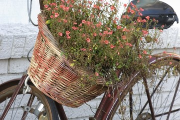 Aluminium Prints Bicycle Basket full of red flowers on the bicycle under the sunlight against a white wall