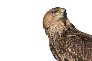 Portrait of an eagle on an isolated white background.
