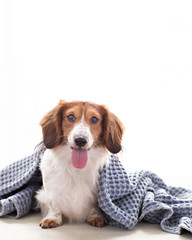 Spoed Fotobehang Hond Adorable smiling weiner dog looks at the camera and cuddles in a blanket in natural light