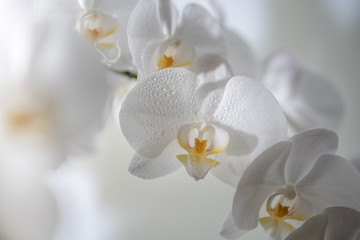 A close up of beautiful white orchid flowers