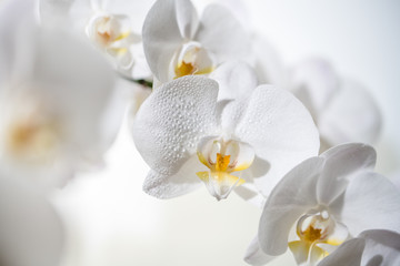Fotorolgordijn Orchidee A close up of beautiful white orchid flowers