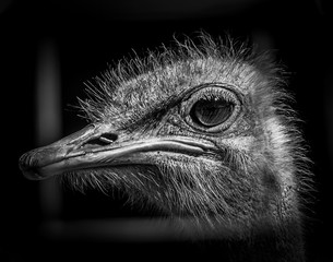 Ostrich Closeup in Black and White here in Upstate NY