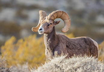 Endangered desert bighorn sheep