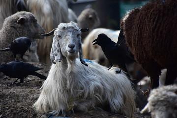 インドのヒマラヤ山岳地帯のマナーリー 山羊と羊の群れ 可愛い山羊のクローズアップ写真