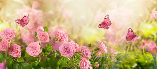 Photo sur Aluminium Fleur Fabulous blooming pink rose flower summer garden and flying fantasy peacock eye butterflies on blurred sunny shiny glowing background, mysterious fairy tale spring floral wide panoramic holiday banner