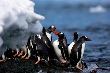 Spoed Fotobehang Pinguin Group of gentoo penguins on the shore of Antarctica fighting with each other with open beaks