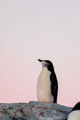 Foto op Canvas Pinguin Chinstrap penguin on the snow and ice of Antarctica with pink sky
