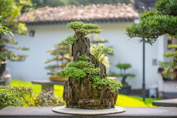 Foto op Canvas Bonsai Bonsai trees on a rock on a stone table in Baihuatan park, Chengdu, Sichuan province, China