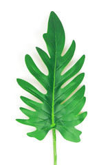 artificial xanadu leaf isolated on white