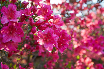 Pink azalea flower buds outdoor