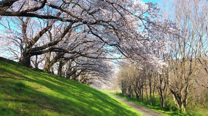 Wall Mural - Row of cherry blossoms trees in Kyoto, Japan. Springtime in Japan.