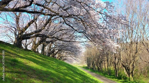 Wall mural Row of cherry blossoms trees in Kyoto, Japan. Springtime in Japan.