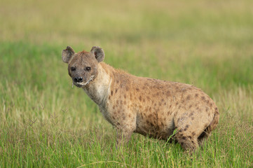 Spotted Hyena seen at Amboseli National Park, Kenya, Africa