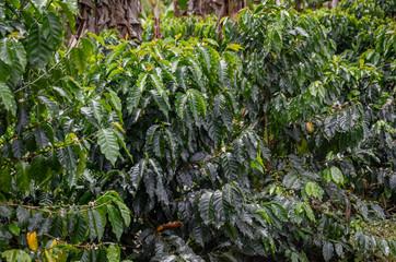 coffee arabica plants