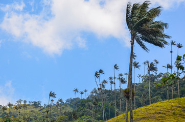 Palm trees moving with the wind Cocora valley Colombia