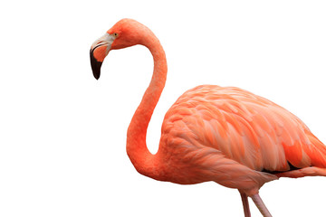 Tuinposter Flamingo Bust-up photo of flamingo viewed from the side | Cutout white background