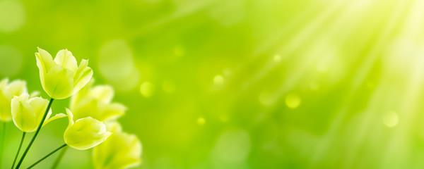 Canvas Prints Lime green weiße tulpen in abstrakter frühlingslandschaft