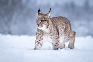 Spoed Fotobehang Lynx Young Eurasian lynx on snow. Amazing animal, walking freely on snow covered meadow on cold day. Beautiful natural shot in original and natural location. Cute cub yet dangerous and endangered predator.