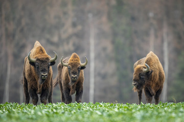 Poster Bison European bison - Bison bonasus in the Knyszyn Forest (Poland)