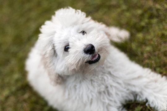 Portrait of a white Poodle puppy