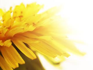 yellow dandelion so close, light toned