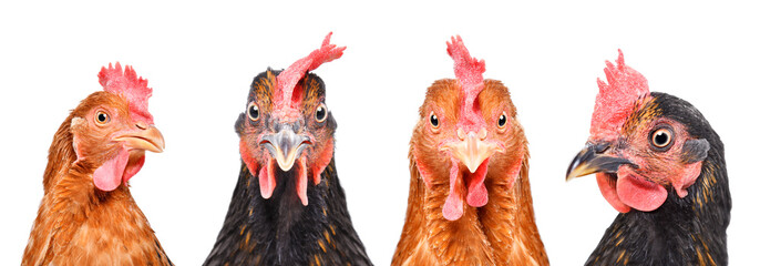 Portrait of four hens, closeup, isolated on a white background