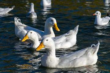 White pekin ducks and black headed gulls in winter plumage swimming on a lake
