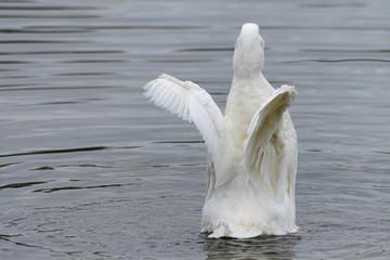 White pekin duck, flightless bird, spreading and flapping wings