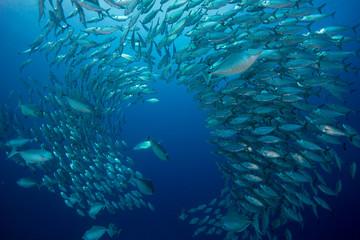 Oceania, Palau, Oxeye Scads, Selar boops, Shoal of fish
