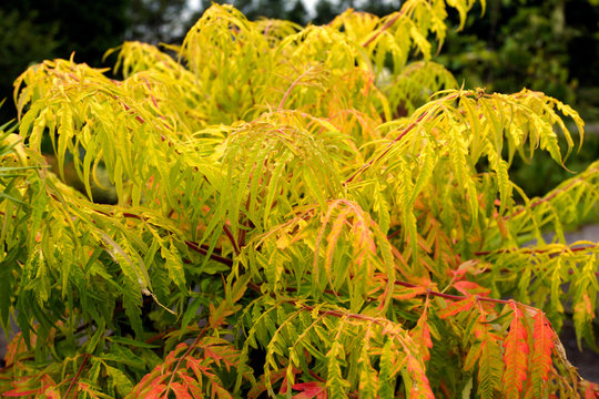 The bright yellow (golden) foliage of Tiger Eyes staghorn sumac (Rhus typhina 'Bailtiger')