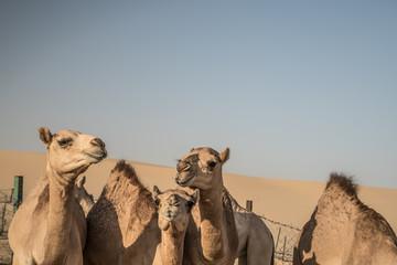 Poster Kameel red desert camel dromedary dunes