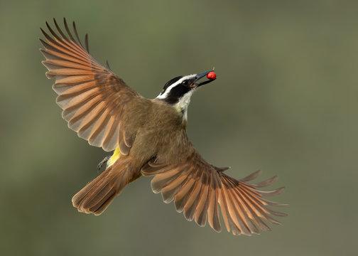 Great Kiskadee in flight with wild berry, Rio Grande Valley, Texas