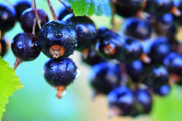 Black currant berries on a branch in summer garden.