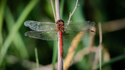 Printed roller blinds Butterfly Common Darter dragonfly (Sympetrum striolatum)