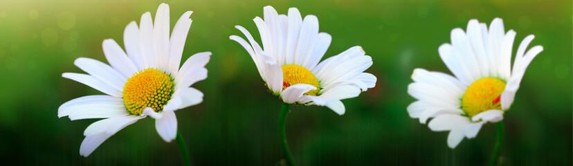 Poster Madeliefjes Macro Shot of white daisy flowers in sunset light.