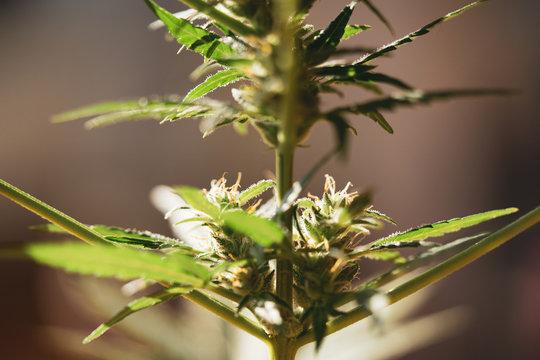 sunlight dances on healthy growing marijuana buds