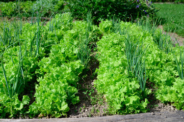 Letuce and onion growing on garden in early spring