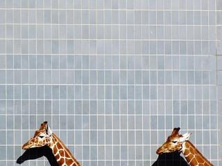 Giraffe head against tiled wall