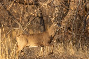 Wall Murals Deer Buck Whitetail Deer in Rut in Colorado in Fall