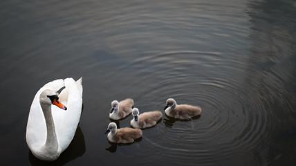 In de dag Zwaan swans