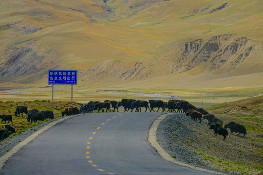 Herd of wild yaks cross the empty asphalt highway running across Tibetan plains