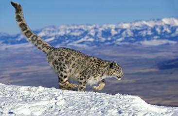 Türaufkleber Leopard PANTHERE DES NEIGES uncia uncia