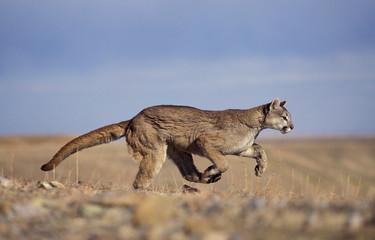Deurstickers Puma PUMA puma concolor