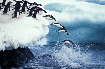 Fototapeten Pinguin MANCHOT ADELIE pygoscelis adeliae
