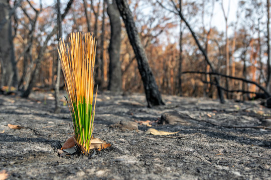 Close-up shot of fresh, green Grass Tree (Xanthorrhoea) leaves growing in a forest near Sydney, New South Wales, Australia, after the devastating bushfire season of 2019. Burnt trees in background.