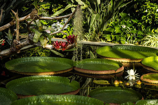 Large lily pads flowering in a garden ponds, Piedmont, Italy