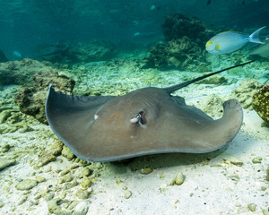 Whipray in Maldives